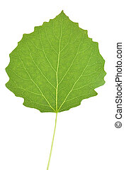Aspen tree leaf isolated on white background