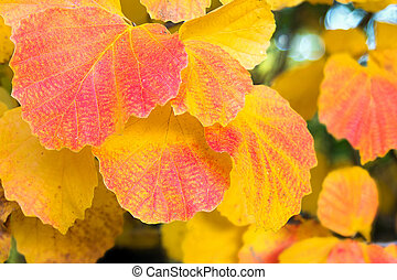 Aspen Tree Leaves Fall Color