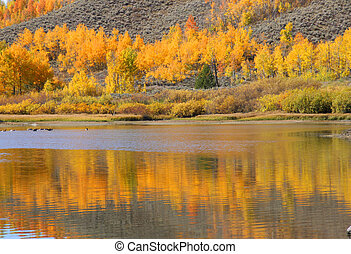 Aspen tree reflections