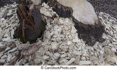 aspen tree taken down beaver - European aspen tree almost...