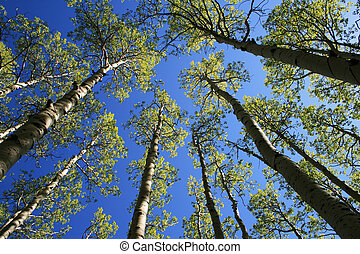 aspen tree tops - view up in aspen (Populus tremuloides) ...