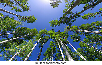 Aspen Tree Tops - wide angle image looking up in an aspen ...