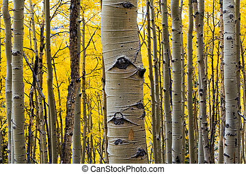 Aspen Tree Trunk Closeup - Aspen treen in a colorful Fall ...