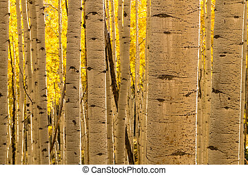 Aspen Tree Trunk Forest - Aspen tree trunks in Aspen forest