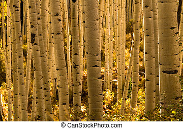 Aspen Tree Trunk Forest - View of Aspen tree trunks in Aspen...