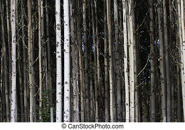 Aspen Tree Trunks for background