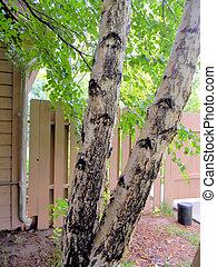Aspen Tree Trunks Splittings