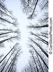 Aspen Trees Canada