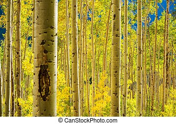 Aspen Trees Forest near Aspen, Colorado, United States....