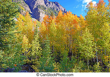 Aspen Trees in Autumn colors