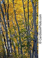 Aspen Trees in Autumn