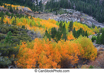 Aspen trees in autumn - Bright color aspen trees in autumn...