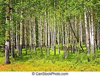 Aspen trees in Banff National park - Forest of tall white...