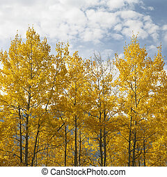 Aspen trees in fall color. - Aspen trees in yellow fall ...