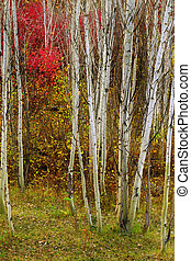 Aspen Trees in Fall with Colors Lush Forest Birch Red Maples