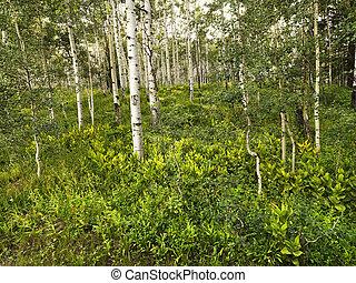 Aspen trees in forest.
