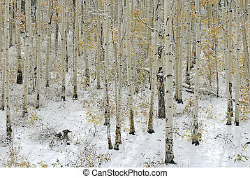Aspen trees in the snow with sunshine coming through the trees.