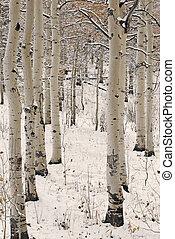 Aspen Trees in Snow