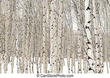 Aspen trees in winter with water soaked bark