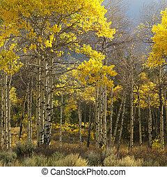 Aspen trees in Wyoming.