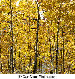 Aspen trees in Wyoming. - Aspen trees in yellow fall color ...