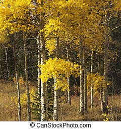 Aspen trees in Wyoming. - Aspen trees in yellow fall color...