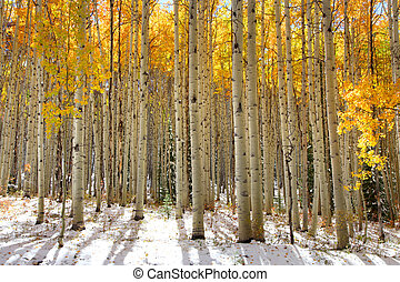 Aspen trees in the snow in early winter time