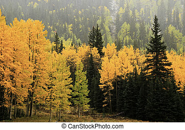 Aspen trees with fall color, Uncompahgre National Forest, Colorado, USA