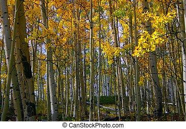 Aspens 8083 - Golden aspens glimmer in autumn sunshine on...