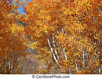 Aspens along a rural road