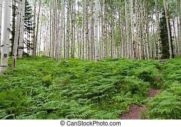 Aspens - Aspen forest near Crested Butte, Colorado.