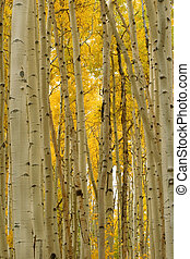 Aspens in Autumn - Aspen trees in Autumn turn the forest in...