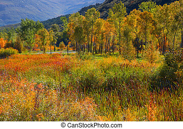 Aspens in early autumn time