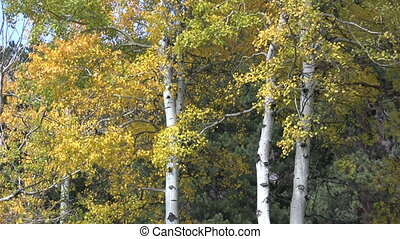 Aspens in Fall - an aspen grove in brilliant fall color