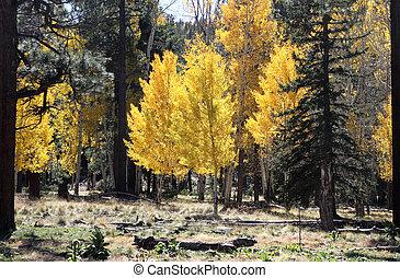 Aspens in fall at Pole Knoll, AZ 1