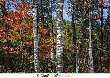Aspens in fall forest