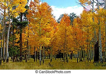 Aspens in full fall color 2
