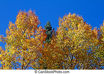 Aspens in full fall color 3
