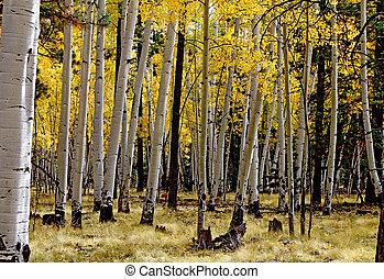 Aspens in full fall color 4
