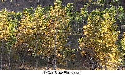 aspens, in, herfst