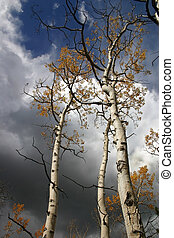 Aspens in Storm - Autumn clad aspens with dark storm clouds ...