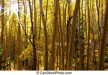 Aspens - Morning sun rays through tall Aspen trees