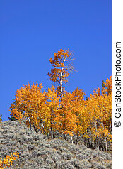 Aspens on the hill