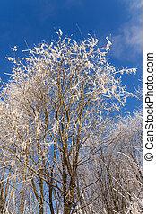aspens under the snow