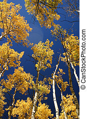 Aspens with Flare II