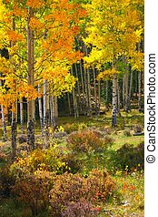 Yellow and golden aspen trees signal the beginning of Autumn in the Rocky Mountains of Colorado