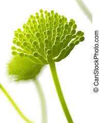 Aspergillus mold - Scientific illustration - aspergillus ...