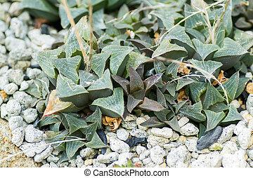 asperula, haworthia, liliaceae