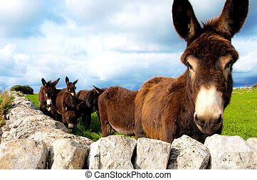 Ass - group of donkeys near the wall of stones with grass...