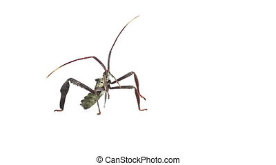 Wheel bug insect rears up to groom beak.